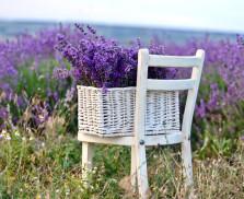 lavender_main